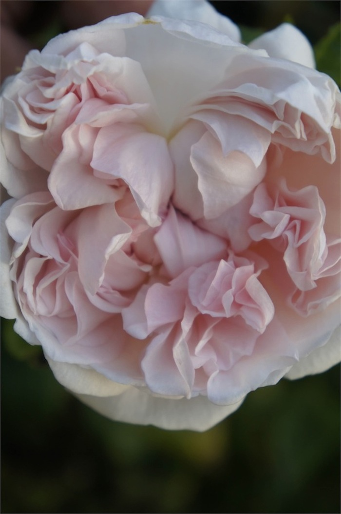 David Austin St.Swithun English Rose