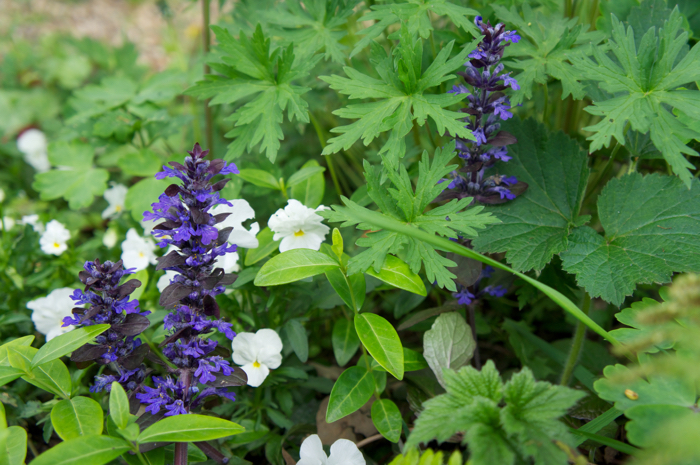 Ajuga with white pansies