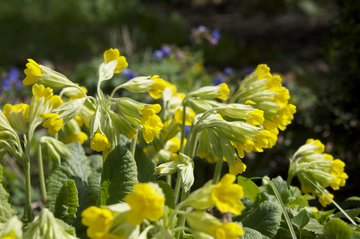 Cowslips in the Sunshine