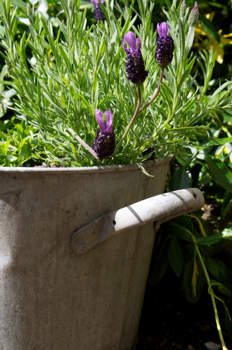 French lavender in an old tin bucket