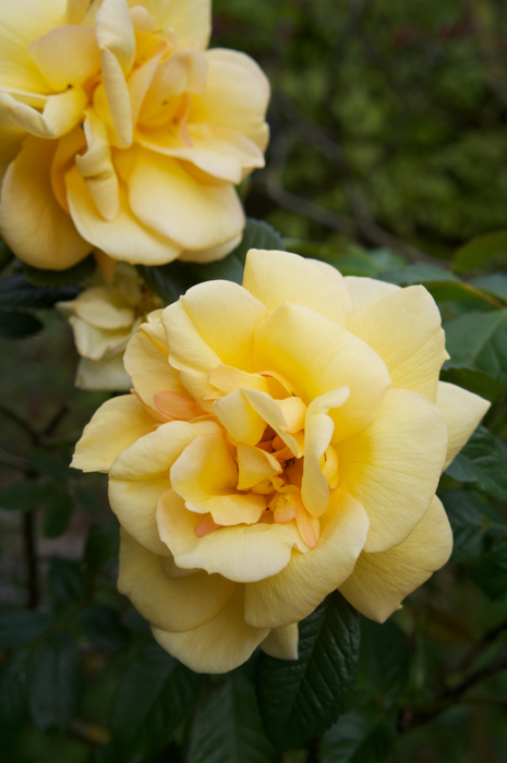 Rosa 'Maigold'. The first rose to bloom in my garden
