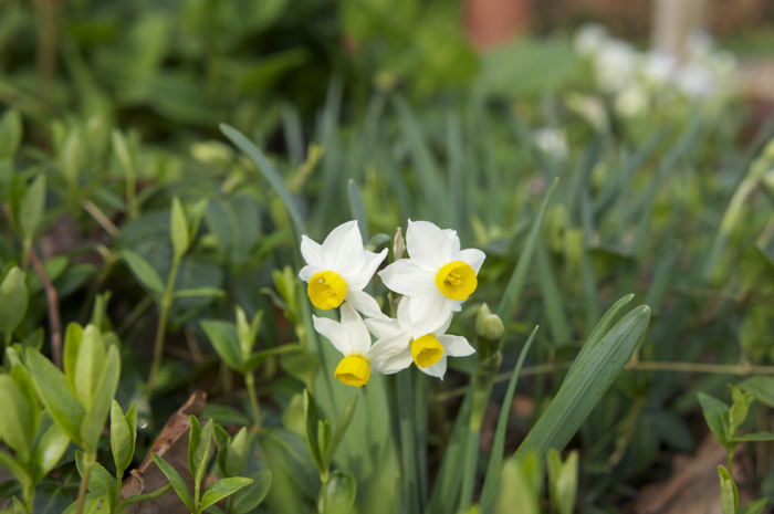 Miniature Narcissus