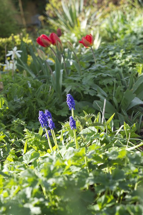 Muscari in the Woodland Bed